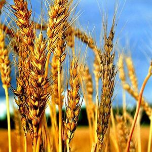 Profile picture for The Wheat Movie