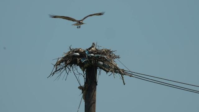 Osprey at Freshkills Park.m4v
