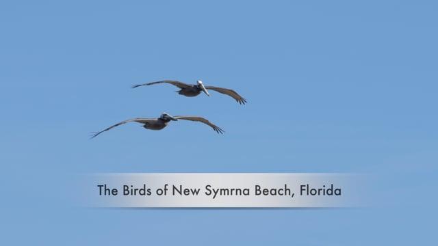 The Birds of New Symrna Beach, Florida