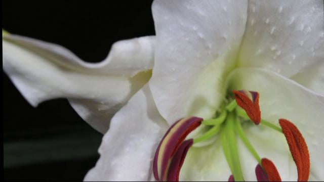 Alice's Garden Lily Time-Lapse