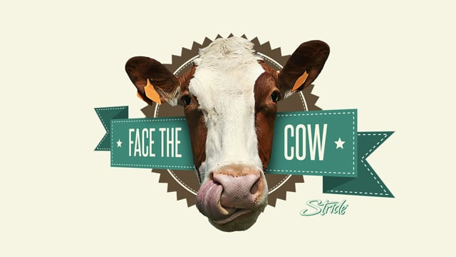 Stride Face the cow