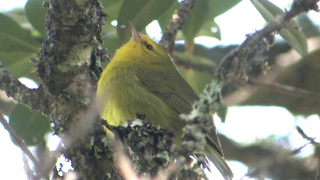 Our 30-minute film narrated by Richard Chamberlain explores the crisis of Hawaiian birds.