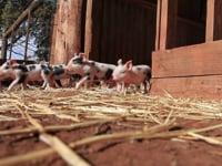 1 minute of pure piglet joy!