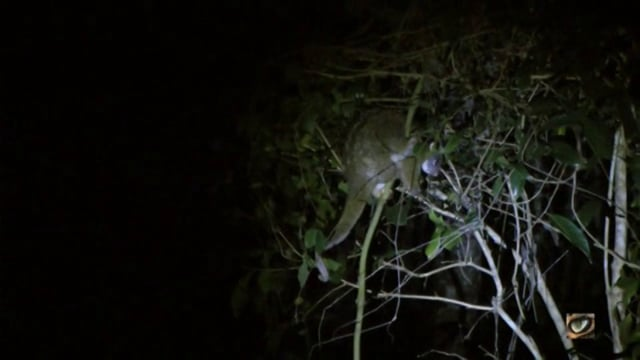 Green Ringtail Possum (Pseudochirops archeri)