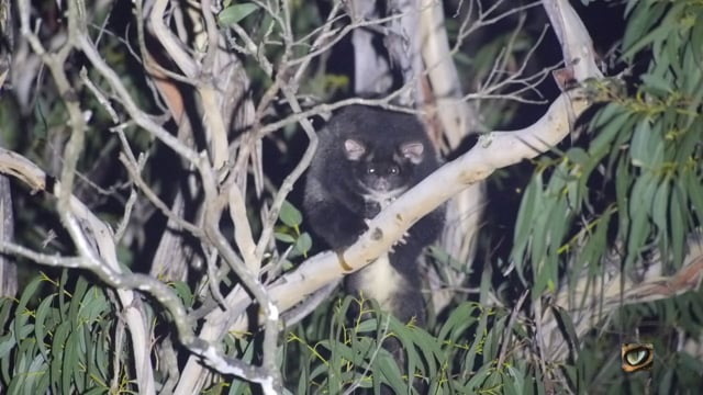 Greater Glider (Petauroides volans, Pseydocheiridae - Ring-tailed Possums and Greater Glider) Blue Mtn's, NSW, Australia