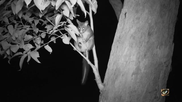 Common Brushtail Possum (Trichosurus vulpecula, Phalangeridae: Possums) SE NSW, Australia