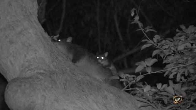 Mountain Brushtail Possum or Southern Bobuck (Trichosurus cunninghamii, Phalangeridae: Possums) SE NSW, Australia