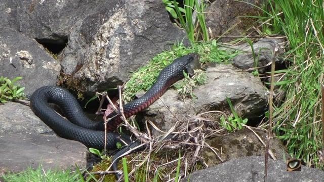 Red-bellied Black Snake (Pseudechis porphyriacus, Elapidae) eating a frog.