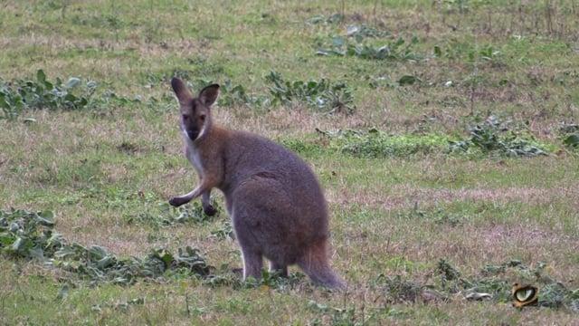 Red-necked Wallaby (Macropus rufogriseus) (Macropodidae: Kangaroos)