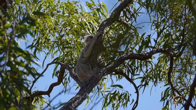 Koala (Phascolarctos cinereus) (Phascolarctidae: Koala)