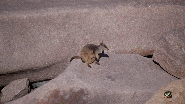 Allied Rock-wallaby (Petrogale assimilis) (Macropodidae: Kangaroo, Wallaby)
