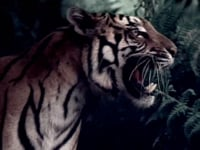 Gadang Garam Tiger
