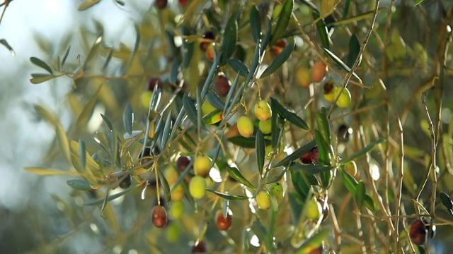 Garda Trentino Extra Virgin Olive Oil, the Green Gold of Lake Garda
