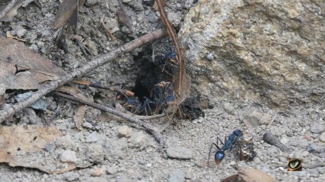 Bull ants (Myrmecia spp.) (Canberra, Australia)