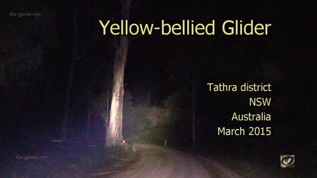 Yellow-bellied Glider (Petaurus australis, Petauridae: wrist-winged gliders) SE NSW, Australia