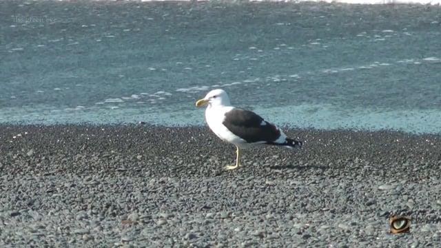 Black-backed (Kelp) Gull (Larus dominicannus, Laridae: Gulls, Terns, Noddies) Napier, New Zealand