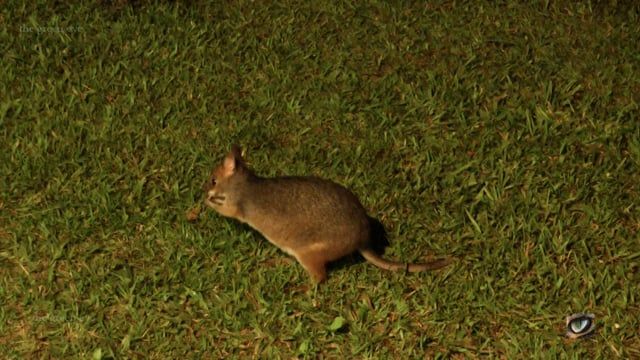 Red-legged Pademelon (Thyogale stigmatica, Macropodidae: Kangaroos, Wallabies etc.) North Qld., Australia