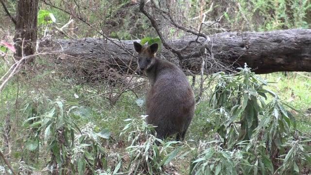 Swamp Wallaby (Wallabia bicolor, Macropodidae: Kangaroos, Wallabies) (south coast NSW, Australia)