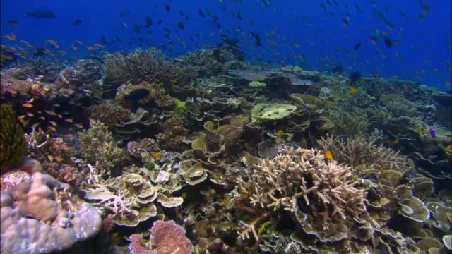 DH 203 Coral Reef Top, Biodiversity, Angelfish, PNG