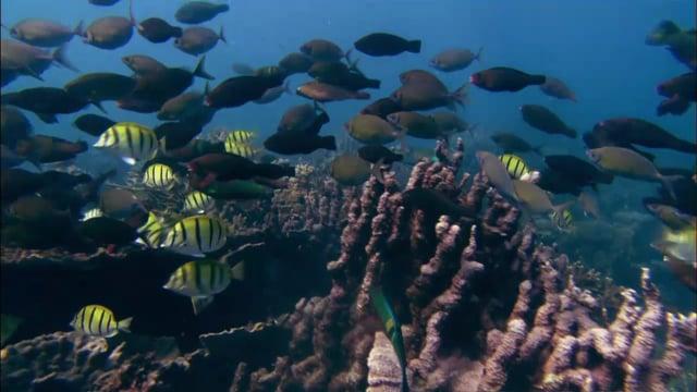 DH 306 Convict Tang School Feeding, Parrotfish, Acanthus triostegus, Ningaloo, WA