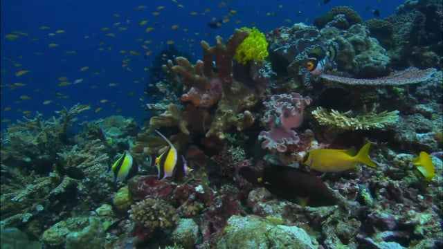 DH 307 Reef Fish Feeding, Biodiversity, Coral Reef Top, PNG
