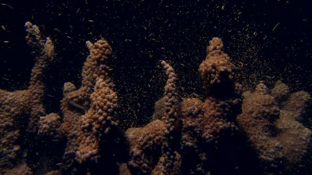 DH 103 Corals Spawning, Ningaloo Reef, WA