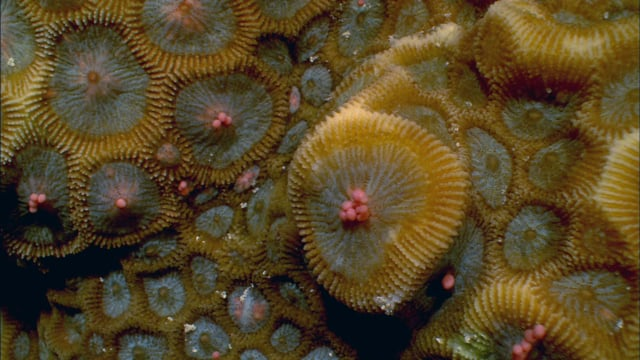 DH 111 Coral Spawning, Favia, GBR