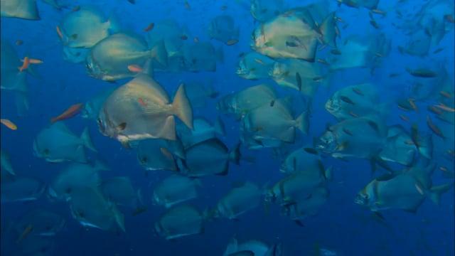 DH 304 Batfish Schooling, Platax, Indo-Pacific