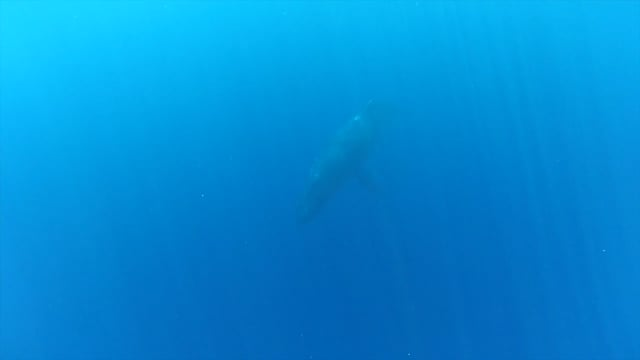 Singing Humpback Whale
