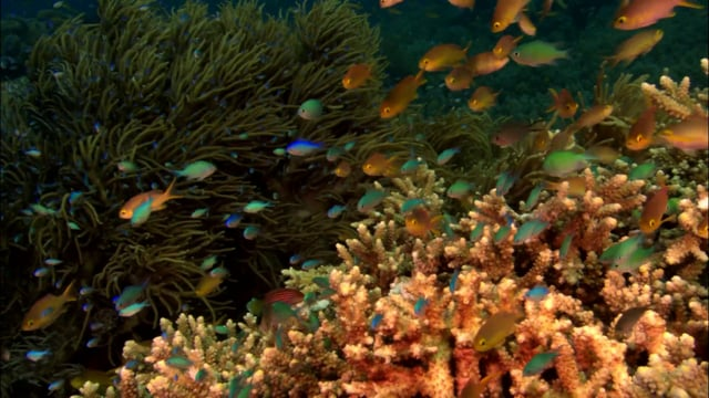 DH 202 Coral Reef Top with small Fish Dawn Clear Water Anthias Chromis PNG
