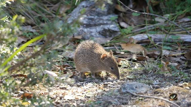 Southern Brown Bandicoot (Isodon obesulus obesulus, Peramelidae: Bandicoots and Bilbies), Canberra, Australia