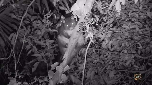 Short-eared Brushtail Possum, Trichosurus caninus, Phalangeridae: Possums) northeast NSW, Australia