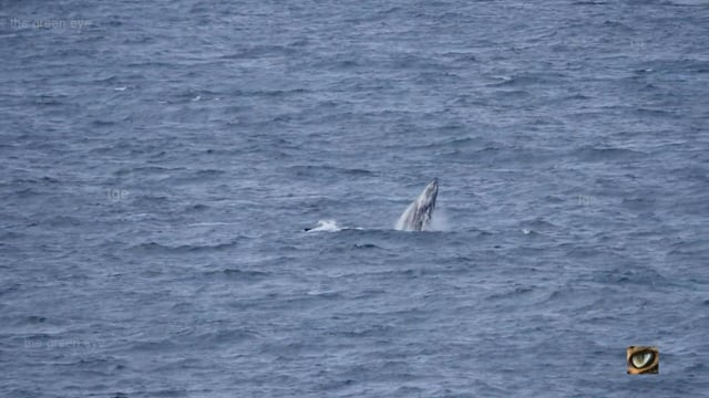Humpback Whales - mothers with calves, from land, mid-north coast NSW, Australia