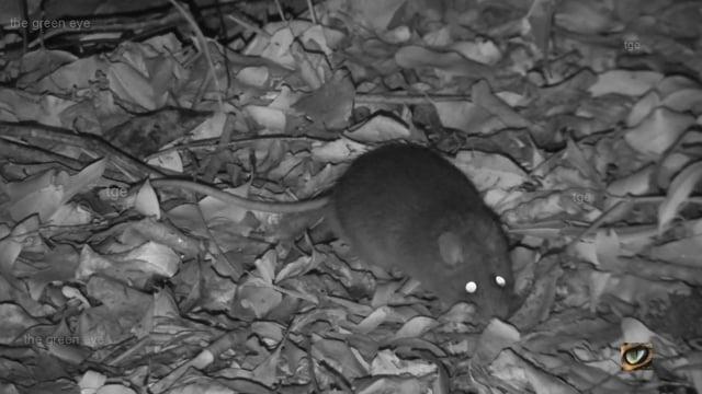 Bush Rat (Rattus fuscipes, Muridae: rats and mice) north-east NSW, Australia