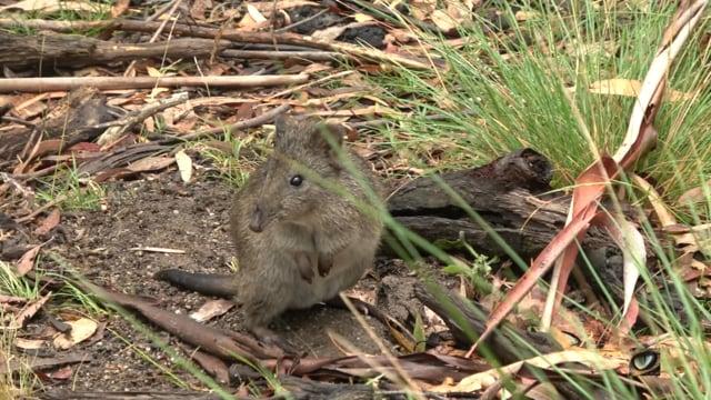 Long-nosed Potoroo (Potorous tridactylus, Potoridae: Potoroos & Betongs) Tidbinbilla NR, Canberra, Australia