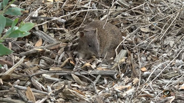 Southern Brown Bandicoot (Isodon obesulus obesulus, Peramelidae: Bandicoots and Bilbies), Cranbourne, Vic., Australia