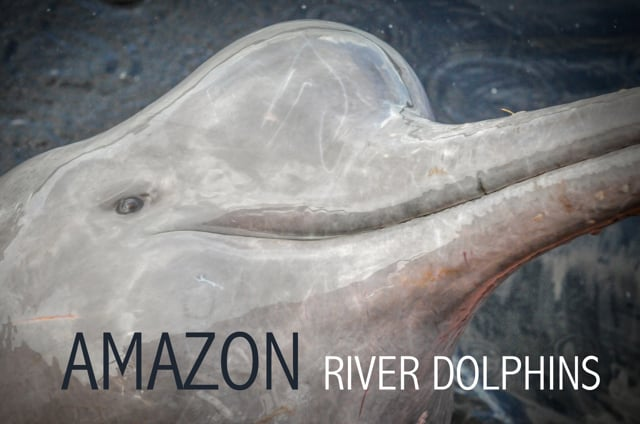 Underwater Footage Of Amazon River Dolphins