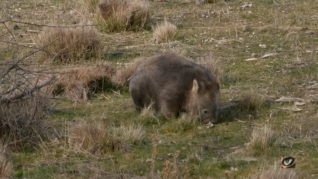 Common Wombat (Vombatus ursinus, Vombatidae: Wombats) Canberra district, Australia