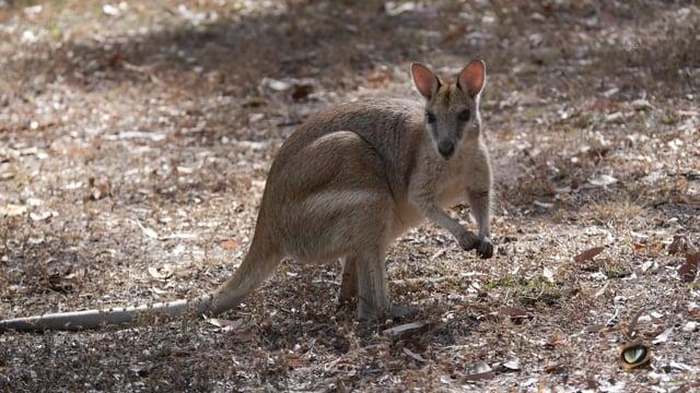 Agile Wallaby (Macropus agilus, Macropodidae: Kangaroos and Wallabies) Townsville, North Qld. Australia