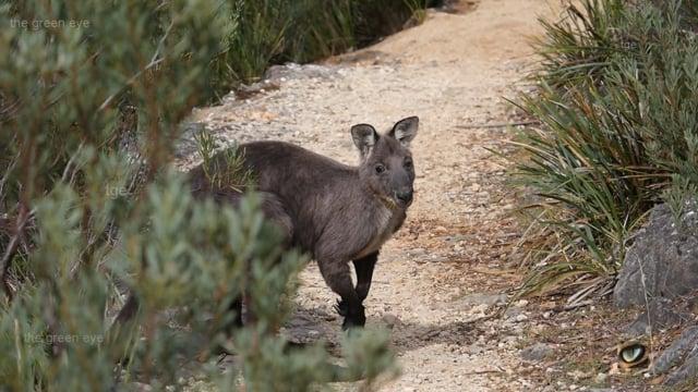 Common Wallaroo (Macropus robustus robustus, Macropodidae: Kangaroos, Wallabies)  NSW, Australia