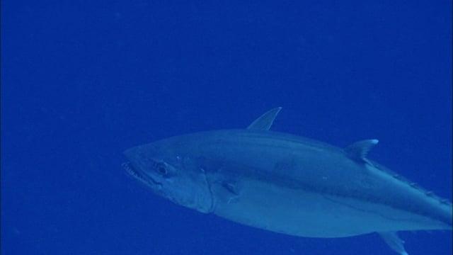 DH 311 Tuna Dogtooth, Gymnosarda unicolor, GBR