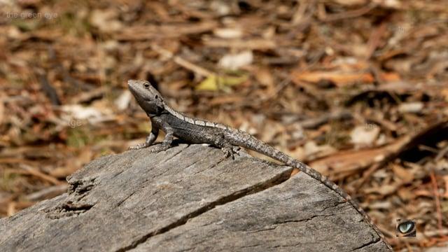 Jacky Lizard/ Dragon, Amphibolurus muricatus (Agamidae: Dragons) Canberra, Australia