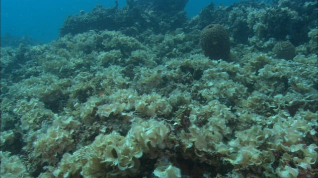 DH 061 Algae smothered Reef, PNG