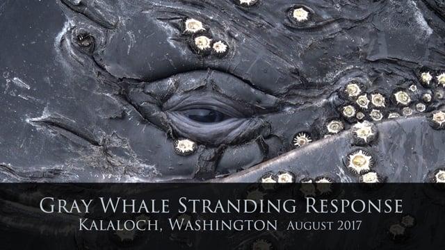 Kalaloch Whale Rescue