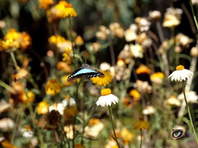 Swallowtail ballet - a time-lapse butterfly performance (4K)