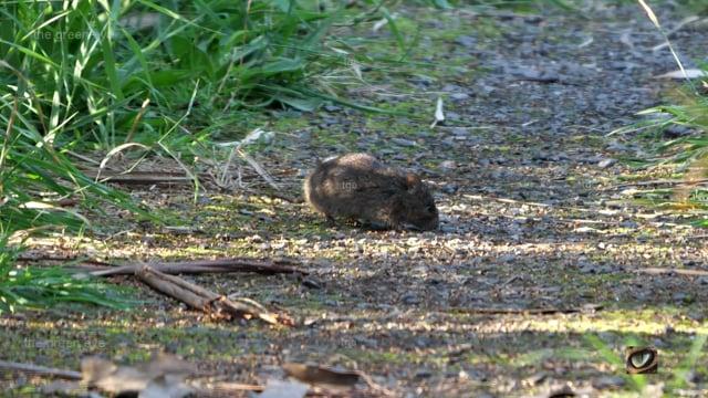 Swamp Rat (Rattus luteolus, Muridae: Rats and Mice) Mornington peninsula, Vic., Australia