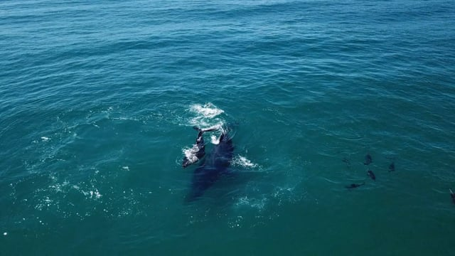 Humpback Whales Play With Dolphins At Palm Beach Aerial