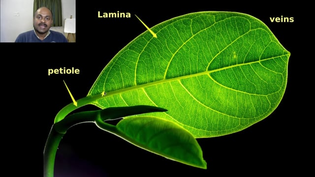 Parts of a Leaf