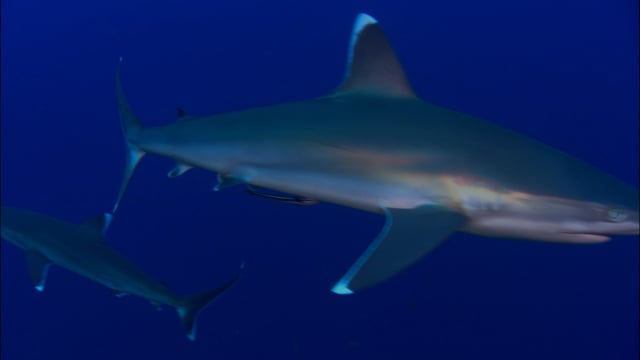 DH VMP Blue Water Sharks - 2mins