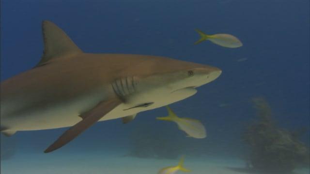 DH VMP Bull Sharks - 2mins